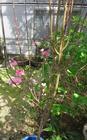 2015年3月28日桃の花