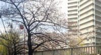 2016年3月27日目黒川の桜