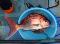 2016年4月16日1.5kg真鯛