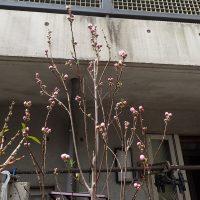 2018年3月18日桃の花開花